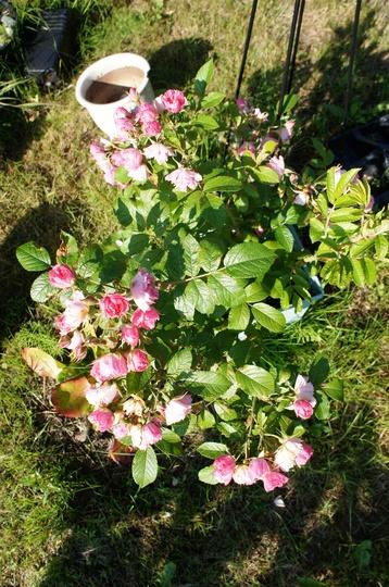 Hybrid Rugosa Rose, Pink Grootendorst