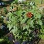 Big Mixed Sunflower