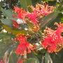 Stenocarpus sinuatus - Firewheel Tree Flowering (Stenocarpus sinuatus - Firewheel Tree)