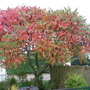 Autumn Colours - Rhus