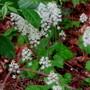 Tiarella naturalized under the Hazel Thicket (Tiarella cordifolia (Foam flower))