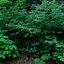 The Hazel Thicket...tiarella and trilliums... (Hazel (Filbert))