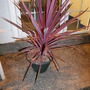 "Cordyline ""Pink Passion"""
