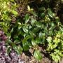 Viburnum Cinnamomifolium (Viburnum Cinnamomifolium)