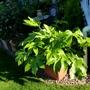 Fatsia Japonica (Fatsia japonica (Japanese aralia))