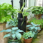Hostas in pots in the Wellyard
