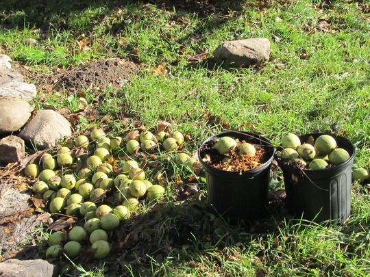 Part of the bounty~ raided by squirrels... (Juglans nigra (Black Walnut))