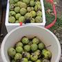 at last count 228 tennis ball size walnuts... (Juglans nigra (Black Walnut))