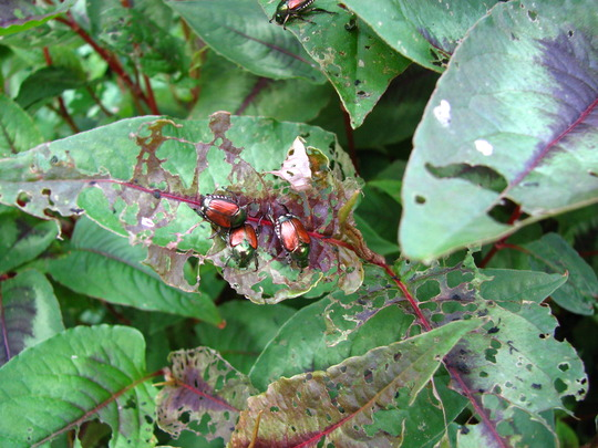 Japanese beetles, well.. the battle has begun ! Wish I could win it just once ! I always come out on the short end of the proverbial stick!