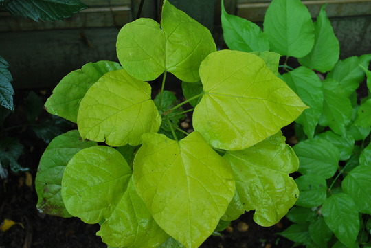 Catalpa Leaves...... (Catalpa bignonioides (Indian bean tree))