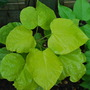 Catalpa Leaves...... (Catalpa bignonioides (Indian bean tree))