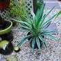 Yucca variegata...... (Yucca gloriosa (Spanish dagger) variegata)