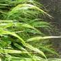 hakonechloa macra 'aureola' or Japanese forest grass (hakonechloa macra 'aureola')