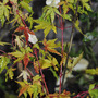 Acer &#x27;Sangokaku&#x27;