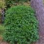 Prunus lusitanica -Portugal laurel