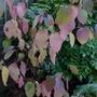 Cornus_alba_sibirica_autumn_foliage_2012