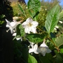 Weigela 'Bristol Snowflake' - 2012 (Weigela 'Bristol Snowflake')