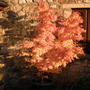 Acer...Kerpow (Acer palmatum (Japanese maple))