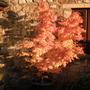 Acer...Kerpow (Acer palmatum (Japanese maple))