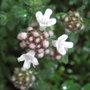 Thymus_variety