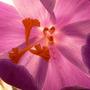 Crocus stamens and pollen