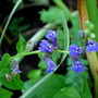 Lobelia, thanks all for the info. (Lobelia siphilitica)