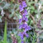 Hyssop in flower. (Hyssopus officinalis)
