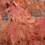 Sangokaku leaves changing (Acer palmatum (Japanese maple))