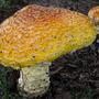 Large_mushroom
