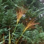 Zebra grass,  Miscanthus sinensis  (Miscanthus sinensis)