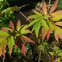 Tree peony, Paeonia suffruticosa