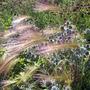 Wisley - July 2012 (Hordeum jubatum (Foxtail Barley))