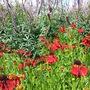 Wisley - July 2012 (Veronicastrum virginicum (Culver's Root), Helenium Morheim Beauty)