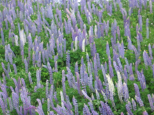 more lupins