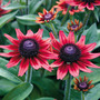 Rudbeckia_cherry_brandy
