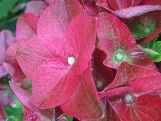 Hydrangea 'Green Shadow' close up. (Hydrangea 'Green Shadow')
