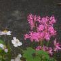 Nerine bowdenii (Nerine bowdenii)