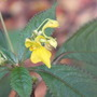 Impatiens 'Racemosa' (impatiens)