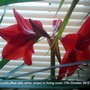 Amaryllis Red with white stripe in living room 17-10-2012 002 (Amaryllis Hippeastrum)