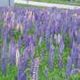 lupins as far as the eye can see