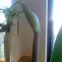 Amaryllis bud in bedroom 13-10-2012 (Amaryllis Hippeastrum)