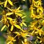 Bees a Buzzing, L stenocephala (Ligularia stenocephala)