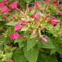 Crimson Four O'clock Flower (Mirabilis Jalapa (Belle de Nuit))