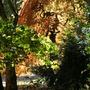 Autumn Acers