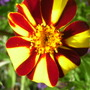 French Marigold. 'Jesters' (Tagetes  (French marigold) 'Jesters')