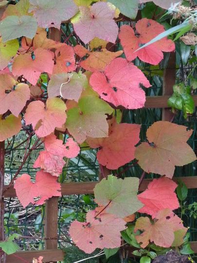 Vitis coignetiae - Crimson Glory Vine (Vitis coignetiae (Crimson glory vine))