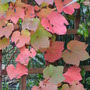 Vitis coignetiae - Crimson Glory Vine (Vitis coignetiae (Crimson glory vine))