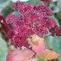 Sedum - Red Cauli (Sedum red cauli)