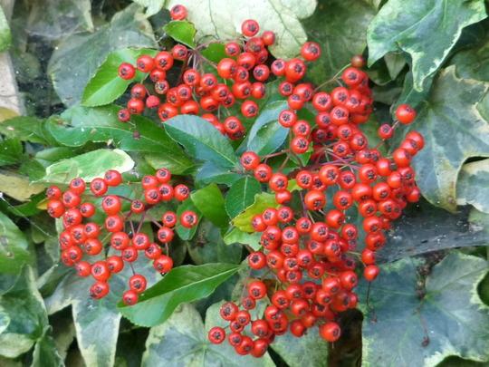 Pyracantha - Firethorn (Pyracantha angustifolia (Fire Thorn))