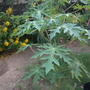 Carica papaya 'Red Caribbean'   (Carica papaya 'Red Caribbean')